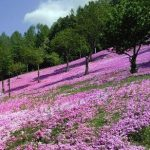 ピンクのじゅうたん 滝上芝ざくらまつり