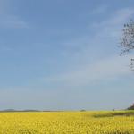 北海道 滝川市 突然見えた菜の花畑!