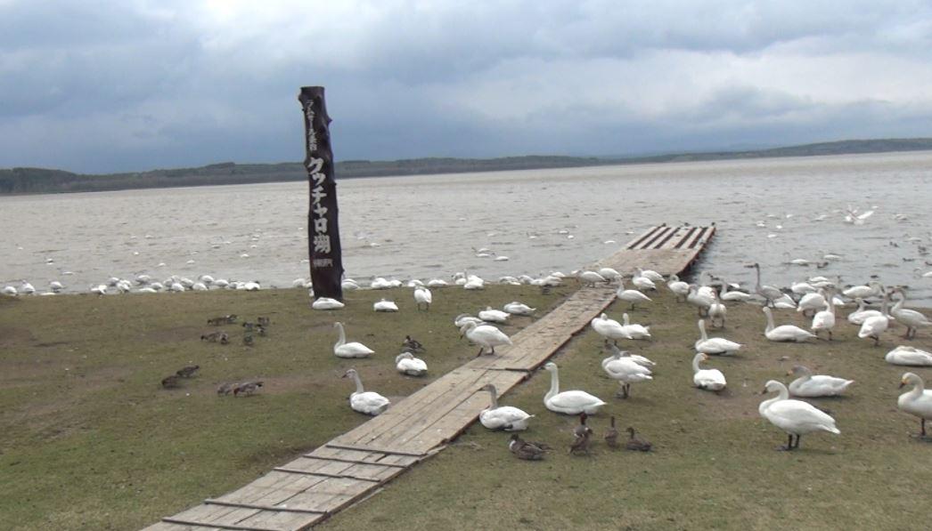 クッチャロ湖 コハクチョウと数万羽のカモ
