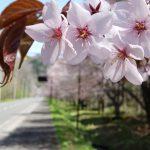 富良野 北の国から 麓郷街道桜並木