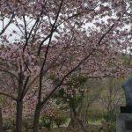 北海道 富良野 桜スポット